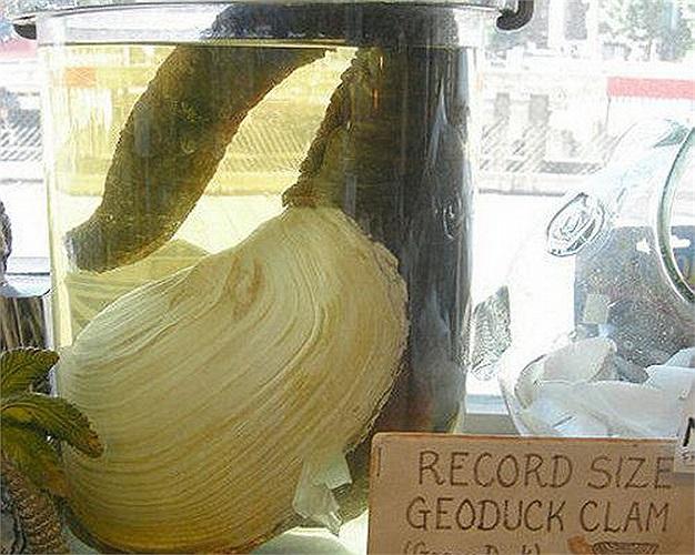 Tu hài: Loại tu hài nước mặn thường được tìm thấy ở Puget Sound, Washington, Mỹ này có thể sống tới 160 năm.