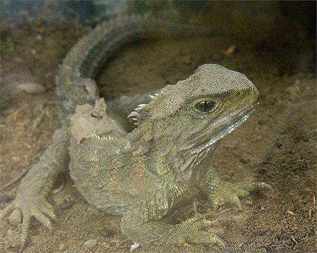 Tuataras: Loài này xuất hiện cùng thời với khủng long vào khoảng 200 triệu năm về trước. Đây là một trong những động vật có xương sống có tuổi thọ cao nhất, trung bình từ 100 đến 200 năm.
