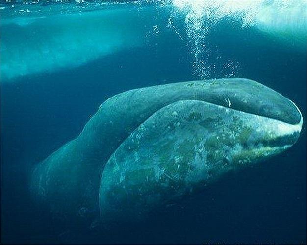 Cá voi đầu cong: Đây là động vật có vú sống lâu nhất, tuổi thọ của chúng kéo dài hơn 200 năm.