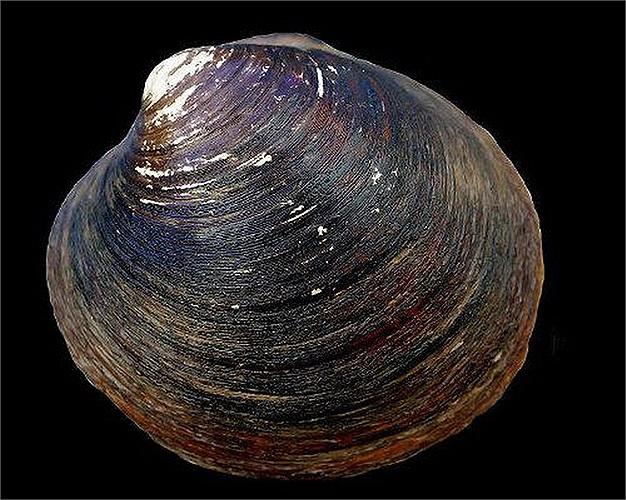 Trai đại dương: Thật đáng ngạc nhiên khi biết, trong loài này một số cá thể có thể sống tới 400 năm.