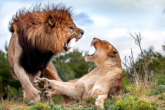 Cuộc chiến của hai chú sư tử tại Kariega Game Reserve, Nam Phi