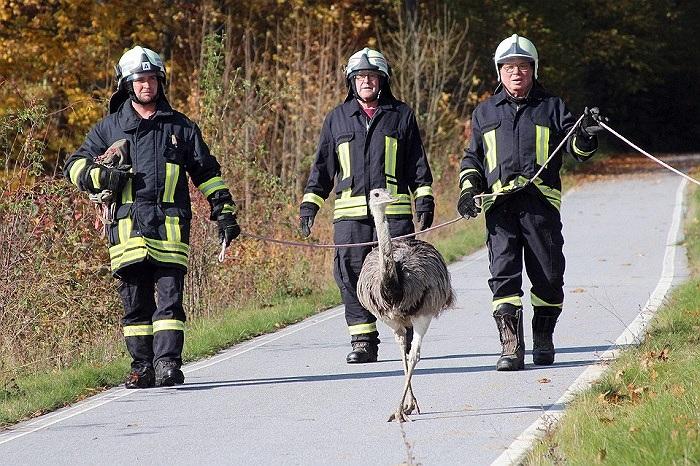 Lính cứu hỏa đang cố gắng bắt một con đà điểu quay trở lại chuồng sau vụ cháy ở Wehrsdorf, Đức