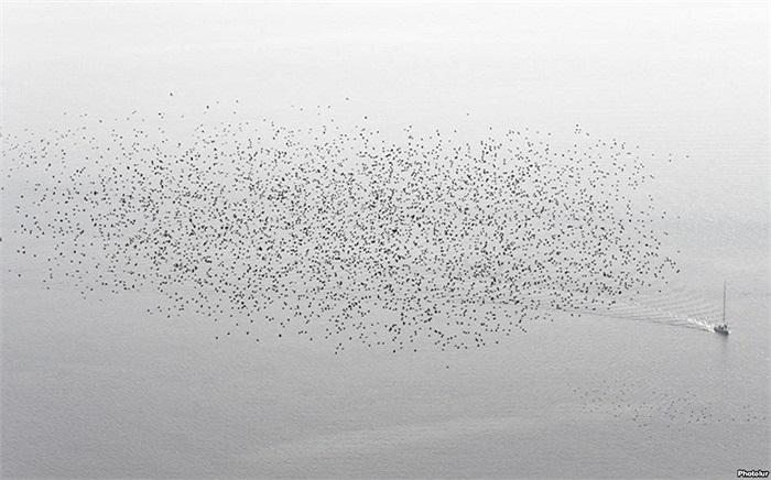Đàn chim sáo đá bay trên một chiếc thuyền tại Hồ Leman trong một ngày sương mù mùa thu gần Cully, Thụy Sĩ
