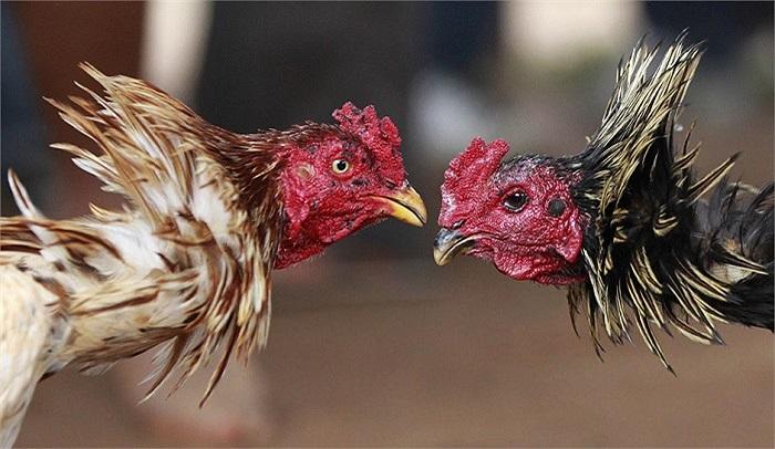 Cặp gà trống tham gia lễ hội gà chọi hàng năm tại Madagascar