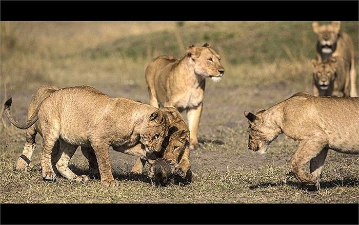 Một chú cầy bất lực trong việc tìm cách thoát khỏi nanh vuốt của đám sư tử