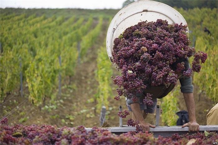 Người nông dân thu hoạch nho tại l'Etoile, Pháp