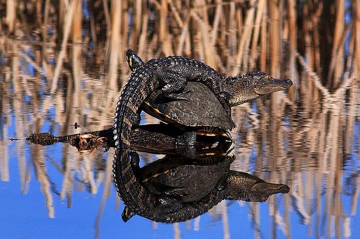 Chú cá sấu tưởng lầm chú rùa là một tảng đá và leo lên nghỉ ngơi