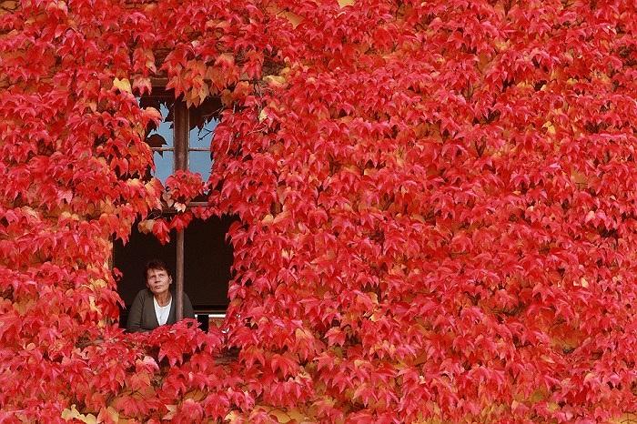 Một căn nhà phủ đầy lá đỏ ở Ballenstedt, Đức
