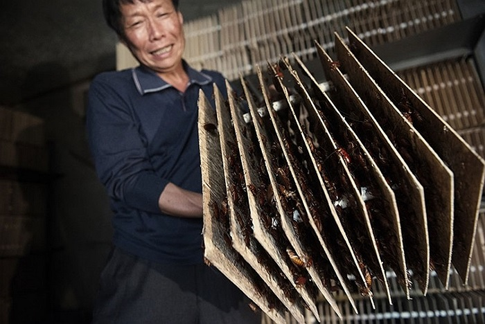 Nông dân Trung Quốc khoe tổ gián đất, thường được dùng làm vị thuốc đông y chữa thủy đậu ở nước này