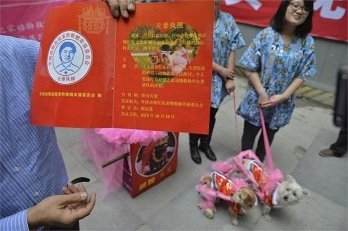 Giấy chứng nhận kết hôn của 'cô dâu' chó Lanlan và 'chú rể' chó Guaiguai được trưng bày trong đám cưới của họ tại Trung tâm Cứu trợ động vật Thành Đô, tỉnh Tứ Xuyên, ngày 18/10/2013.