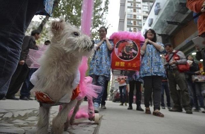 'Chú rể' chó Guaiguai dẫn đầu đoàn rước dâu, đưa 'nàng' về dinh.