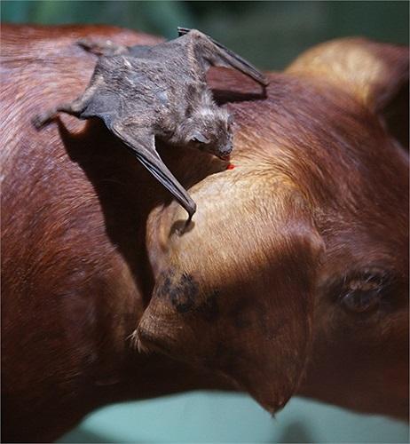 Dơi quỷ (tên khoa học Desmodus rotundus) hút máu các động vật đang ngủ là chim và các loài có vú để tồn tại. Dơi quỷ cần hút máu một hoặc hai ngày một lần