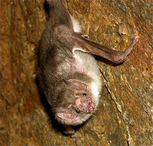 Các nghiên cứu đã chỉ ra dơi quỷ có những tế bào thần kinh chuyên biệt rất nhạy với hơi thở sâu của các loài vật đang ngủ nên chúng dễ dàng nhận biết con mồi có đang ngủ hay không