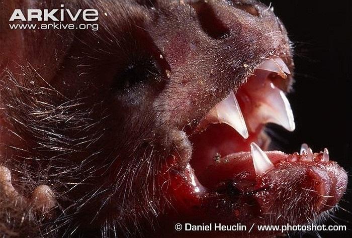 Sau đó, chúng liếm máu rỉ ra bằng chiếc lưỡi dài của mình