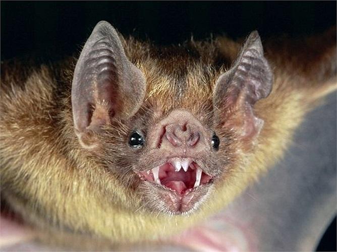 Bên cạnh đó, dơi quỷ còn mang mầm bệnh dại. Hàng năm , có vài trường hợp người mắc bệnh dại do bị dơi cắn ở Mỹ
