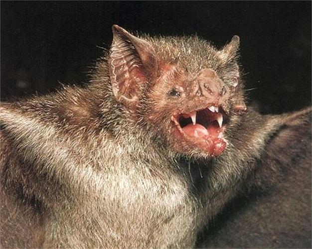 Mặc dù có hình dáng và tập tính đáng sợ, dơi quỷ lại là loài vật rất 'nhân ái'. Chúng sẵn sàng chia sẻ một phần máu mình hút được cho những con dơi bị đói do không tìm được thức ăn
