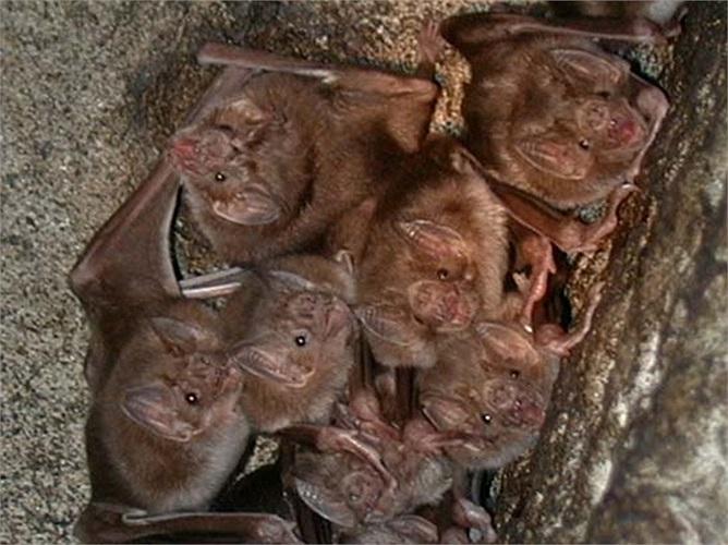 Dơi quỷ sống theo bầy đàn với số lượng cá thể lớn