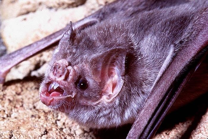 Sau đó dơi quỷ sử dụng răng sắc như lưỡi dao cạo để chọc vào da của con vật và hút máu mà không đánh thức chúng