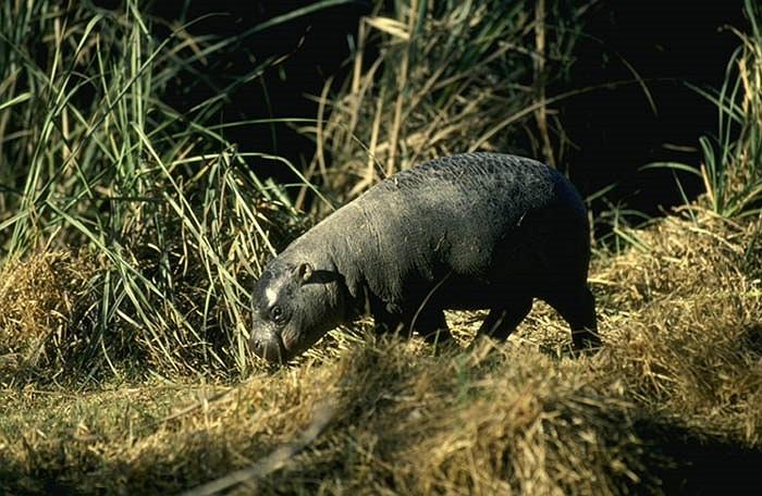 Hà mã lùn Hippopotami dae, là động vật ăn cỏ có vú với trong lượng vào khoảng 5 kg khi mới sinh và đạt 150 kg khi trưởng thành, chỉ bằng 1/10 trọng lượng của họ hàng hà mã.