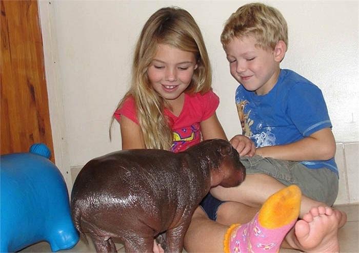 Giám đốc vườn thú chia sẻ rằng, đây là chú hà mã lùn con đầu tiên chào đời tại đây trong suốt 23 năm qua.