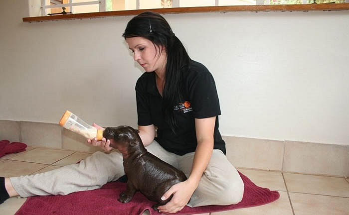Tuy nhiên, sau khi chào đời chỉ được vài tuần chú hà mã con này đã bị bố mẹ bỏ rơi. Cán bộ vườn thú đã phải cố gắng rất nhiều để có thể giành lại sự sống yếu ớt cho chú hà mã lùn.