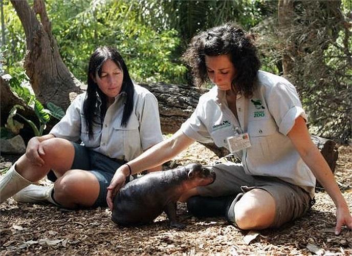 Một nhân viên chăm sóc thú có tên Lisa Van Oten, yêu loài hà mã vô bờ bến. Cô đã nhận chú hà mã lùn này làm 'con nuôi'.