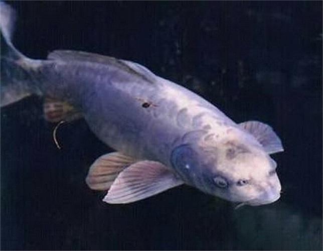 Cá chép Koi, loại cá thường được nuôi ở Nhật Bản. Đầu của loài cá này khá giống với mặt người.