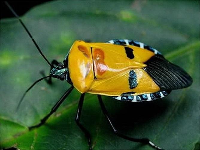 Bọ xít có bộ cánh với mắt đen, môi đỏ.