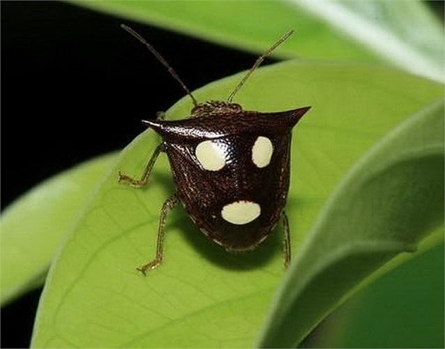 Hình ảnh của loài bọ khiên