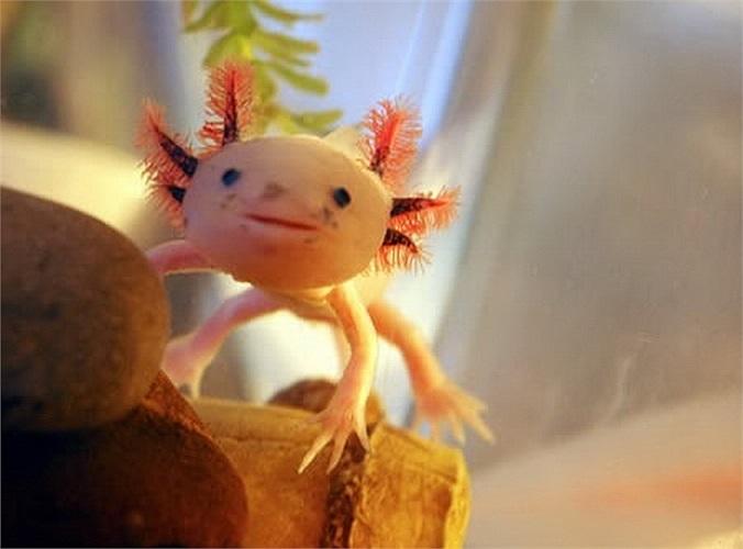 Axolotl, dạng ấu trùng đang phát triển của kỳ nhông Mexico