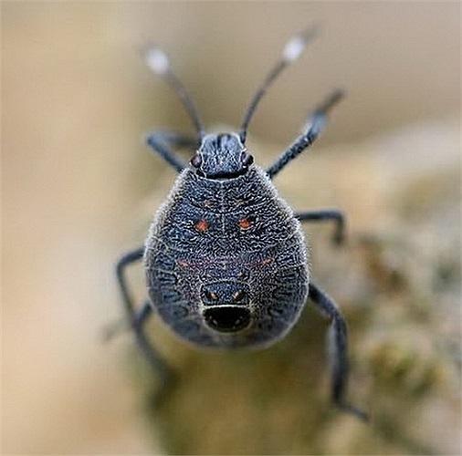 Khuôn mặt của loài bọ rệp