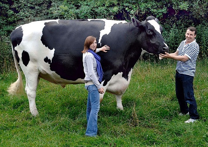 Con bò cao 1m95, dài 4m26 và nặng 1.2 tấn của một trang trại ở Herefordshire