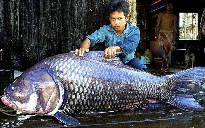 Cá chép khổng lồ ngư dân bắt được ở Biển Hồ, Camphuchia, nặng 102kg