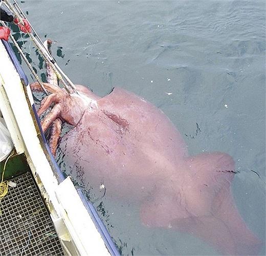 Con mực khổng lồ các ngư dân câu được ở New Zealand, nặng 450kg và dài đến 10m