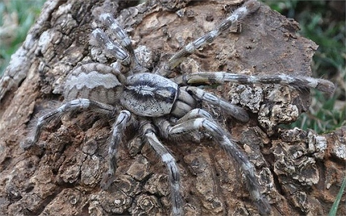 Loài nhện khổng lồ ở Sri Lanka