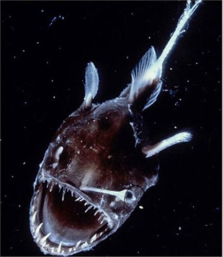 Những sinh vật kỳ quái này được các nhà khoa học Úc phát hiện sâu dưới đáy đại dương. Trong hình là một con cá thuộc loài vây chân với bộ hàm sắc nhọn và khuôn mặt dữ tợn
