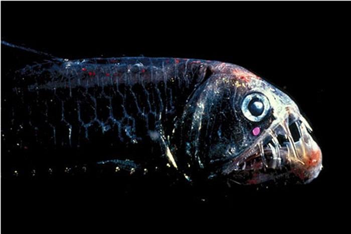 Cá Viperish được mệnh danh là một trong những loài cá hung dữ nhất thế giới