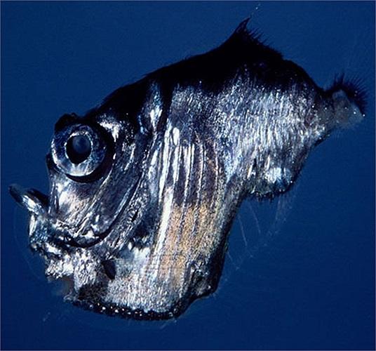 Hình thù kỳ quái của cá lưỡi rìu