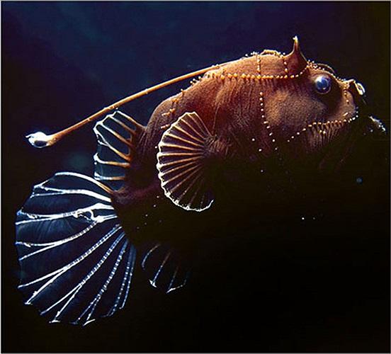 Cá vây chân với nhiều vết lấm chấm trên mình