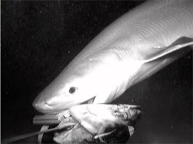 Nhóm nghiên cứu sử dụng một đầu cá ngừ để nhử con cá mập 6 mang cổ đại ra khỏi vùng nước sâu tăm tối