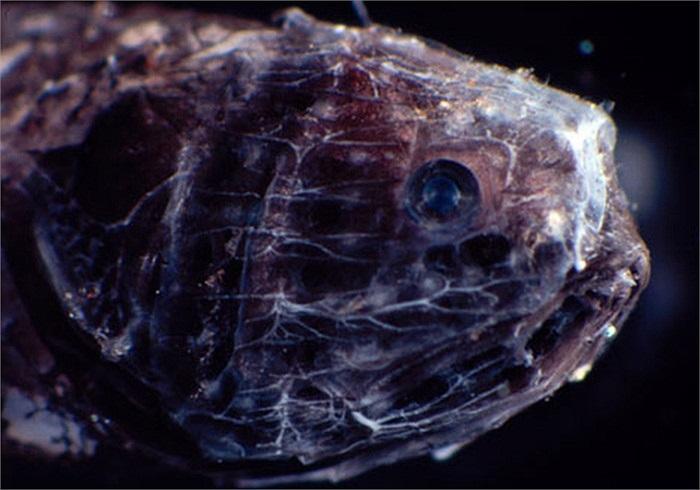 Cận cảnh đầu một con cá quái dị và vô cùng xấu xí sống dưới đáy đại dương