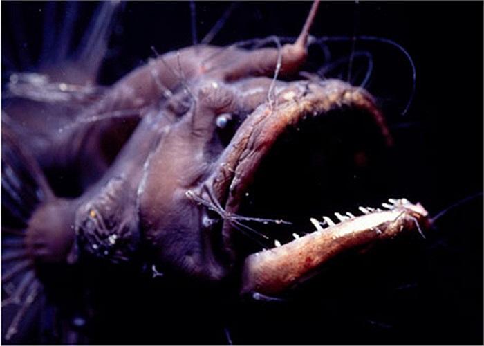Một loài cá vây chân có hình thù gớm ghiếc