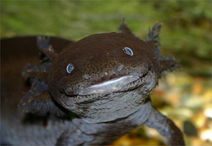 Tại Mehico, chúng chỉ sống ở khu vực hồ Xochimilco hoặc Chalco và đang có nguy cơ tuyệt chủng.