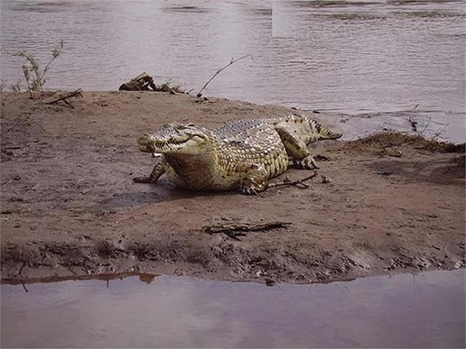 Các bức ảnh chụp vào năm 2008 cho thấy, con cá sấu này vẫn rất khỏe mạnh và lanh lẹ