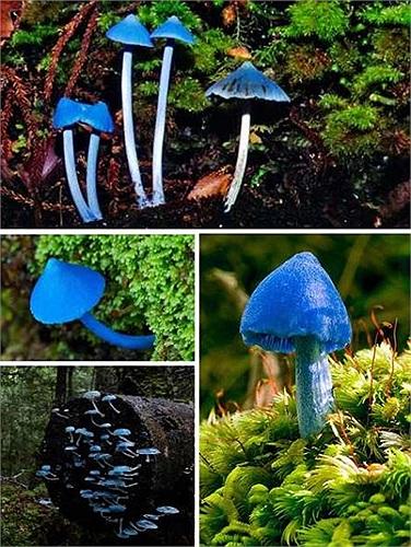 Nấm Entoloma hochstetteri màu sắc tuyệt đẹp