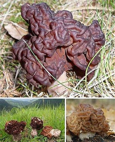 Nấm Gyromitra esculenta trông như nấm mọc nhĩ