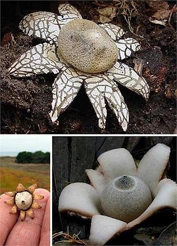 Nấm Geastrum triplex có hình dáng như bông hoa