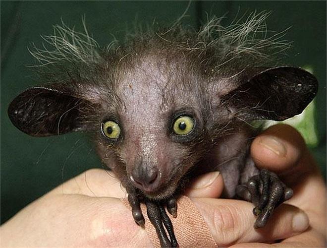 Khỉ Aye aye kích thước khá nhỏ bé, chiều dài cơ thể chỉ vào khoảng 25–35 cm, mắt tròn và lớn