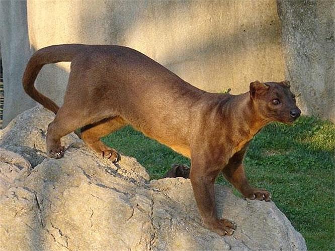 Loài Fossa là động vật săn mồi, từng reo rắc sự sợ hãi cho những người mê tín tại đảo Madagascar của châu Phi