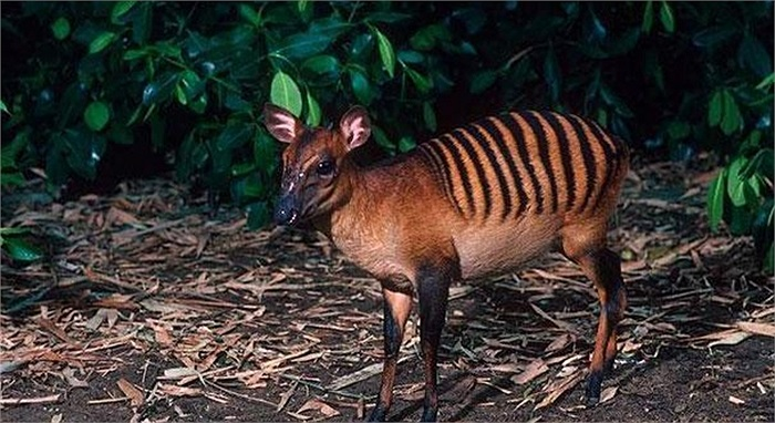Linh dương hoẵng ngựa vằn được tìm thấy ở Bờ Biển Ngà, Guinea, Sierra Leone và Liberia. Chúng có bộ lông vàng hoặc nâu đỏ đặc biệt sọc như ngựa vằn, vệt đen trên đôi chân trên và khuôn mặt màu nâu đỏ